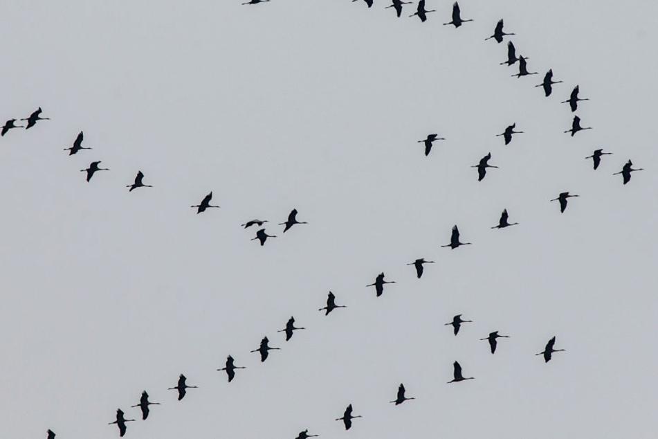 Spektakel am trüben Herbsthimmel: Die Kraniche ziehen über Hessen hinweg in ihr