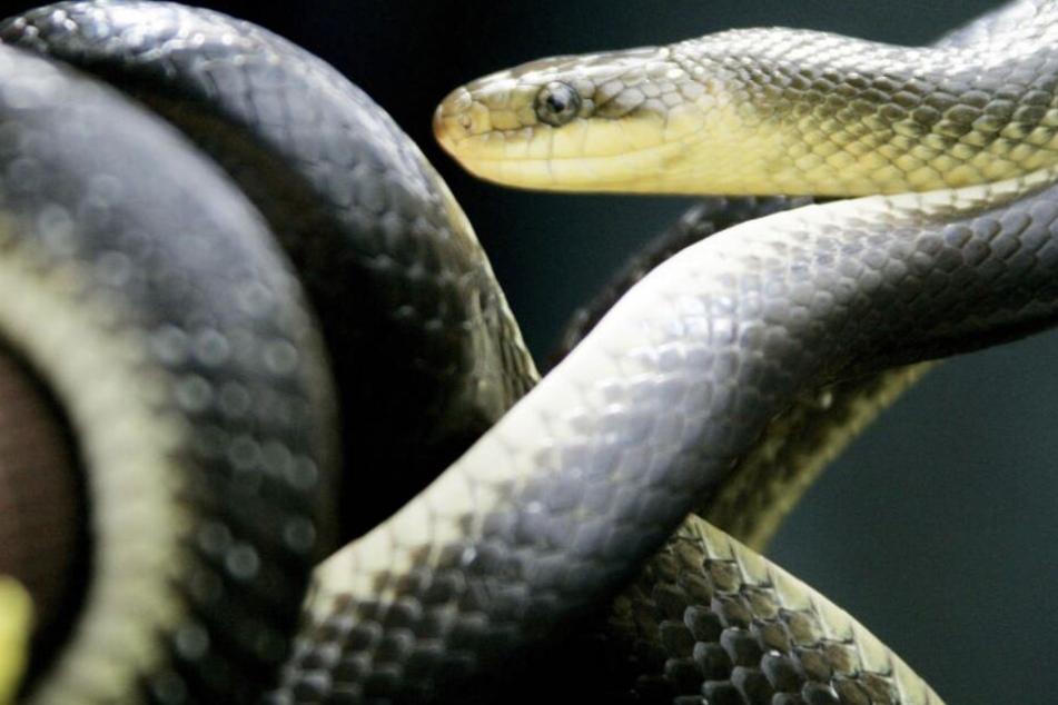 Drei der vier Schlangen überlebten die Tortur nicht.