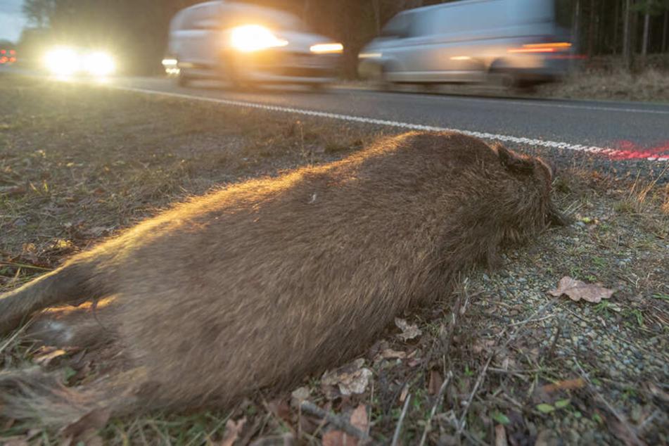 Gleich drei Tiere tot: Rotte Wildschweine von Auto erfasst