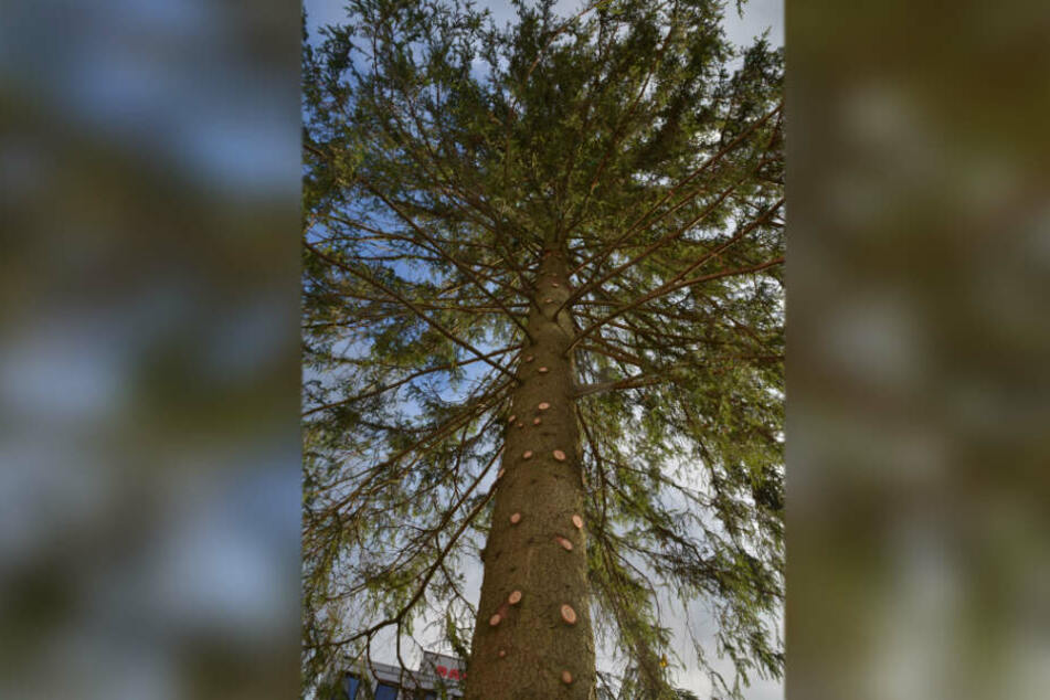 Frische Schnittstellen zeigen an einer Seite, dass der Weihnachtsbaum eigentlich üppiger gewachsen war.