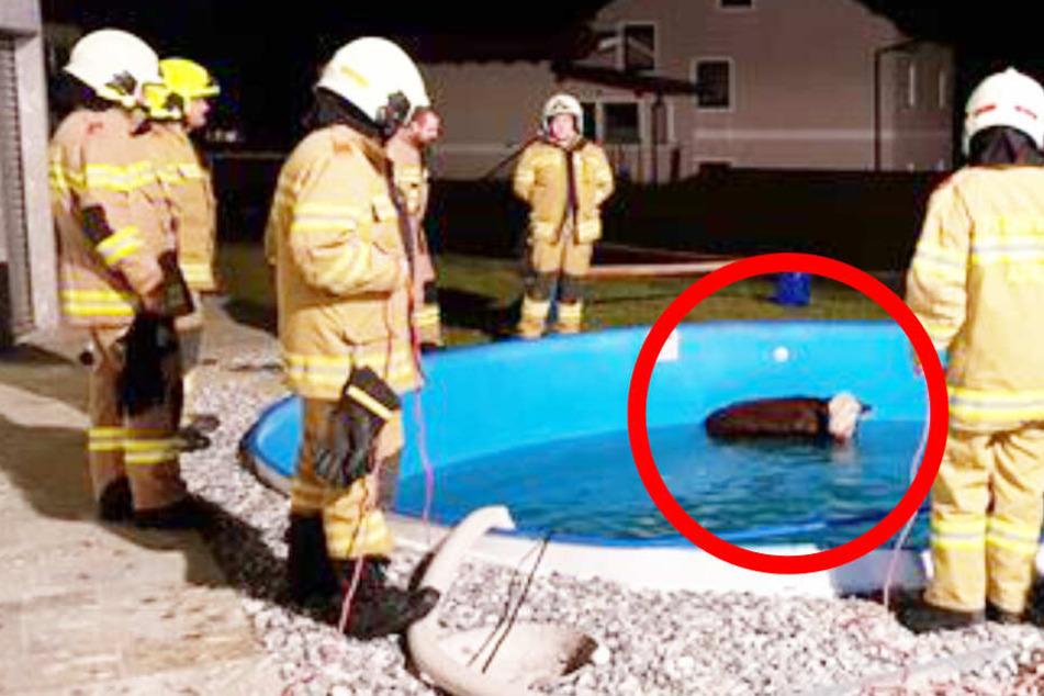 Kalb stürzt in Pool und kommt nicht mehr raus! Feuerwehr rettet Jungtier