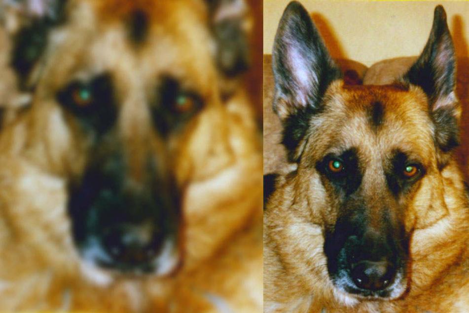So sieht Bess, die Schäferhündin der Vermissten aus, die ebenfalls spurlos verschwunden ist.