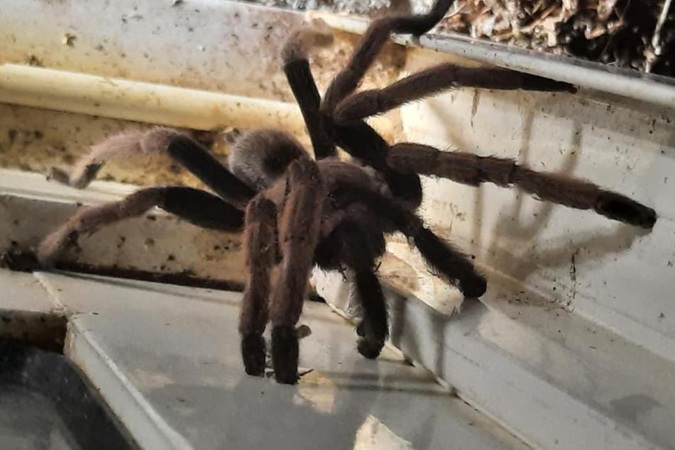 So eine große Spinne kann im Norden Australiens schnell mal zu einem ungebetenen Hausgast werden.