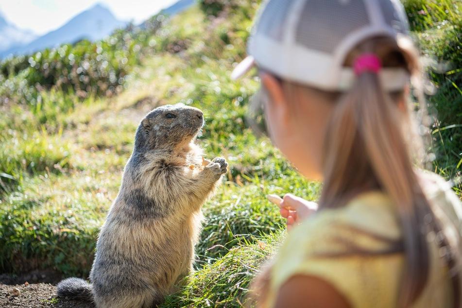 Füttern verboten! Murmeltiere fressen von allein so viel, dass sie durch den Winter kommen. (Symbolbild)