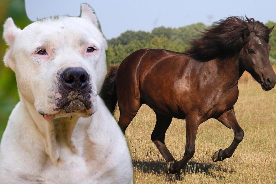 Pitbull beißt sich in Pferd fest und verletzt es schwer