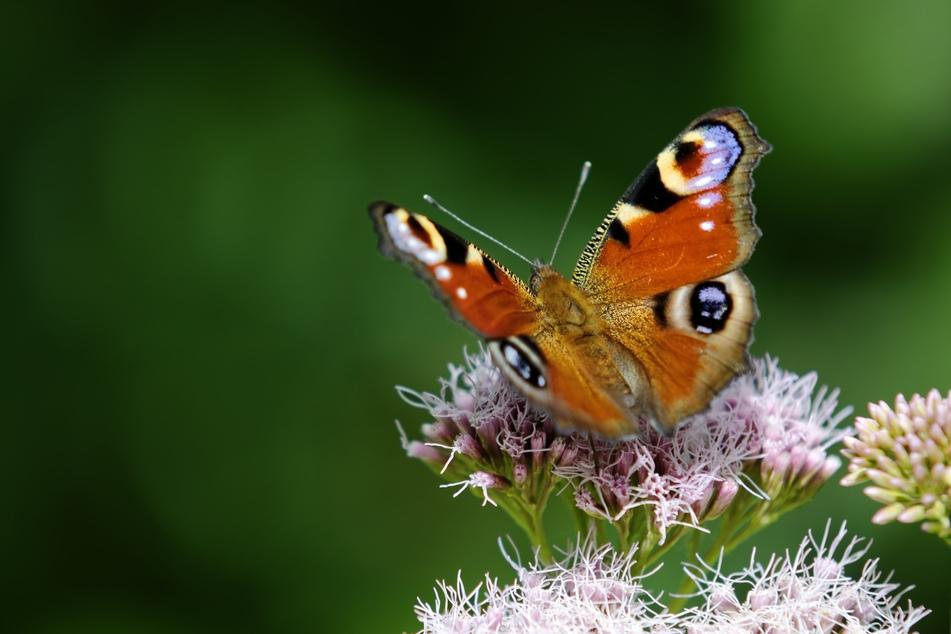 Schmetterlinge wie der Tagpfauenauge werden immer seltener (Symbolbild).