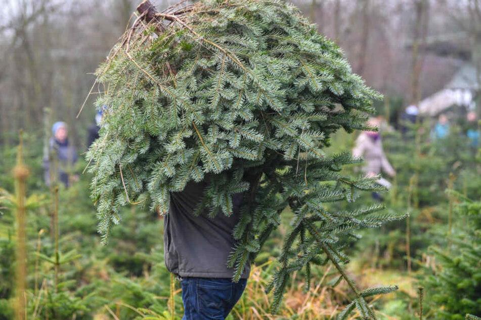 Ein Mann trägt einen Weihnachtsbaum über das Gelände einer Forstbaumschule.