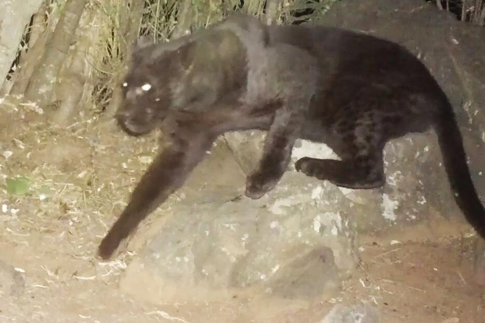 Schwarzer Panther-Sex