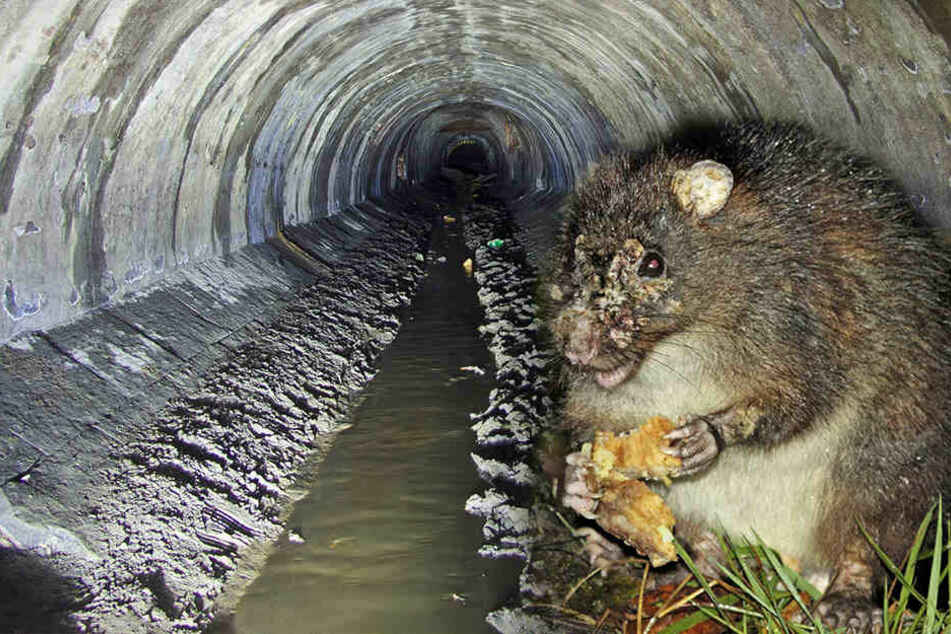 Grippe-Erreger im Abwasser: Verbreiten Ratten jetzt die Viren aus der Unterwelt?