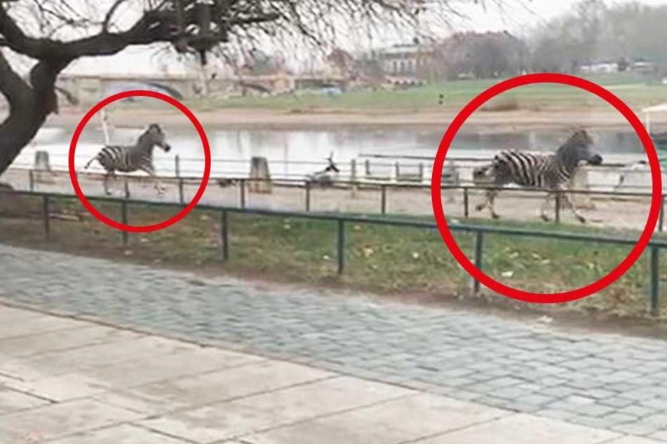 Ausgebüxte Zebras in Dresden: Ein Tier stirbt, Polizist verletzt!