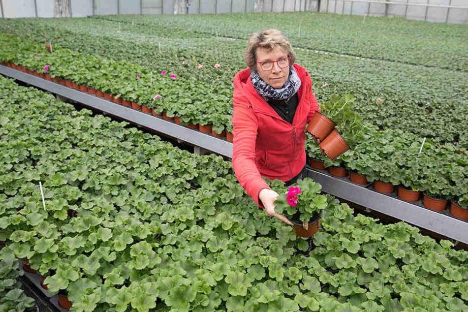 Dicht an dicht: Gärtnermeisterin Jutta Ulbrich (47) würde die Pelargonien gern auseinanderrücken. Doch der Platz fehlt!