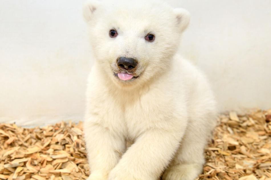 Das Eisbärenmädchen sitzt im Gehege.