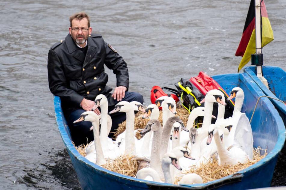Schwanenvater Olaf Nieß bringt die Vögel mit dem Boot ins Winterquartier.