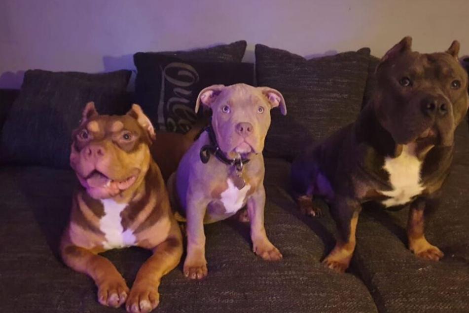 Gestatten: Eazy, Bounty und Skittlez - die Hunde von 187-Rapper Bonez MC.