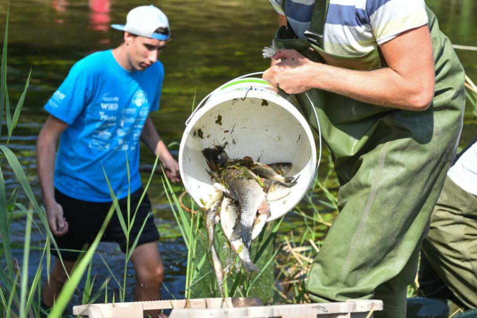 25. August 2015: Freiwillige Helfer holen bei Elpershofen tote Fische aus der Jagst.