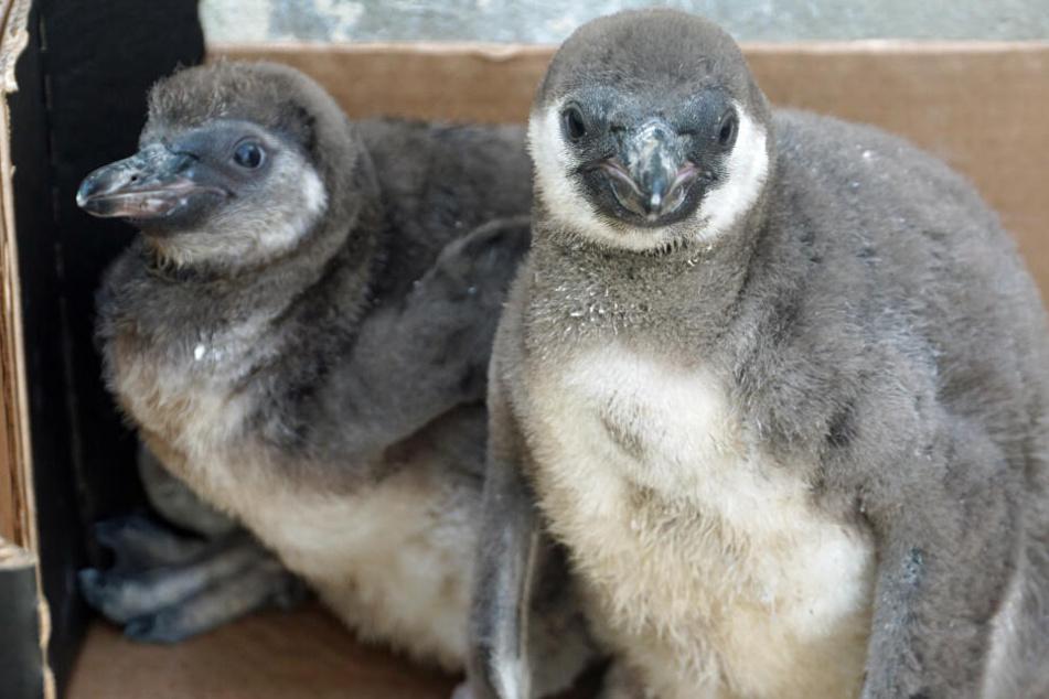 Diese beiden Jungtiere wurden in letzten Sekunde gerettet. Ihre Eltern opferten sich für sie, verstarben nach dem Kampf.
