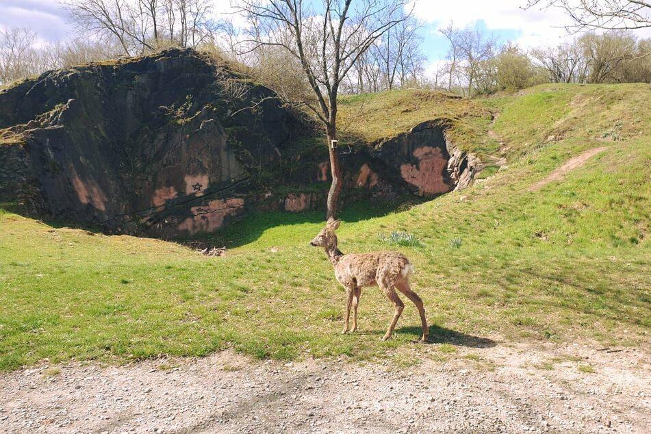 Auf dem Galgenberg in Halle (Saale) wurde immer wieder ein Reh gesichtet. Es scheint keine Angst vor Menschen zu haben.