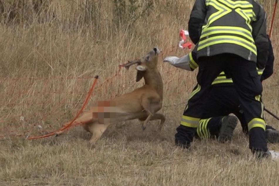 Rehkitz hängt hilflos in Weidezaun: Feuerwehr wird zum tierischen Lebensretter