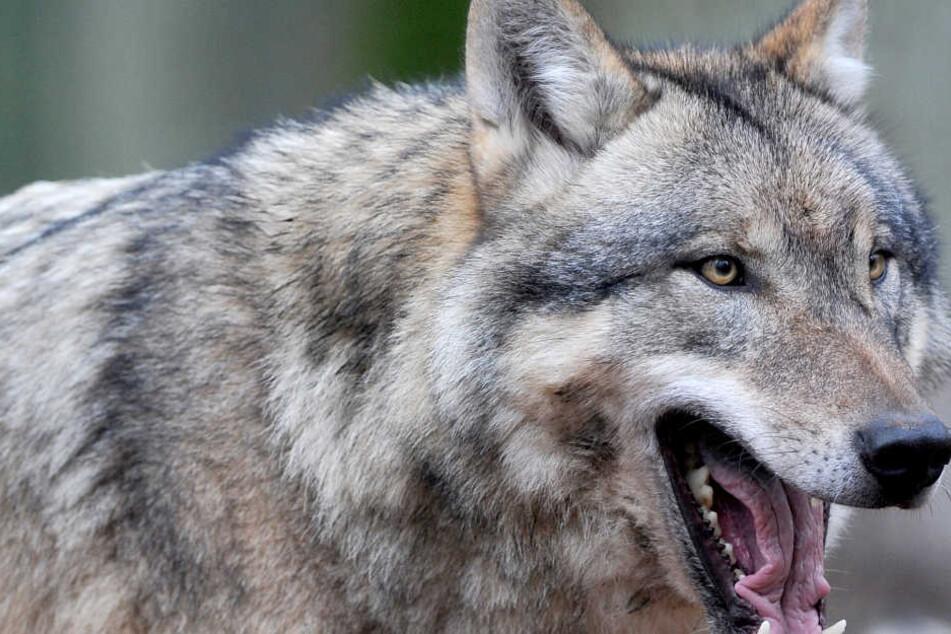 Wölfe jagen Schafe im Südwesten. (Symbolbild)