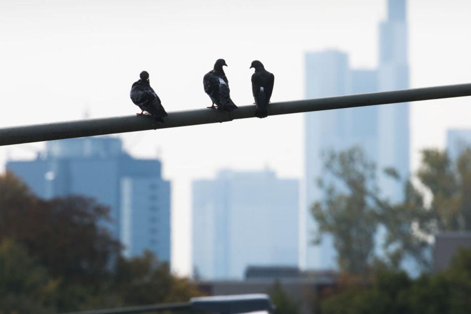 Die Tauben sind in vielen Großstädten Deutschlands ein Problem. (Symbolbild)