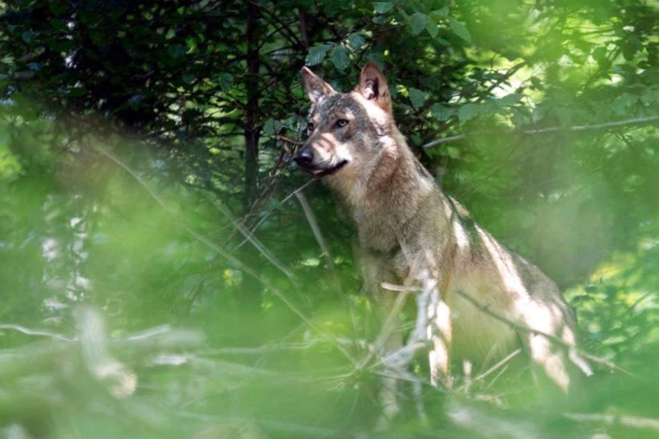 Der erste Wolf seit 150 Jahren: Im Odenwald.