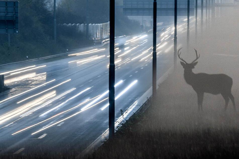 Autofahrer kann nicht mehr bremsen! Hirsch auf A4 getötet
