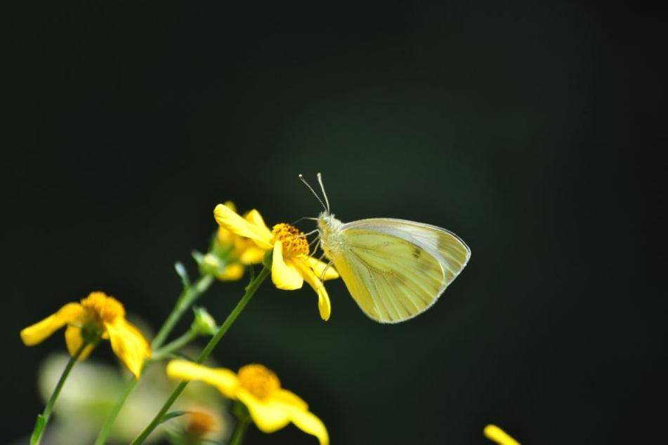Goldmarie lockt viele Insekten, darunter Schmetterlinge, an.