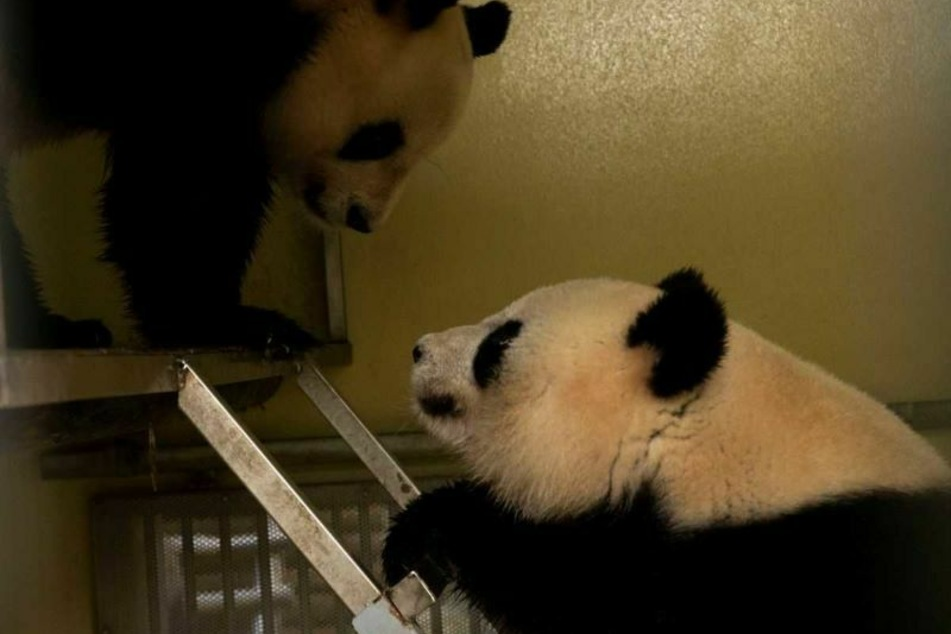 Liebevoll nähern sich Weibchen Huan Huan und Männchen Yuan Zi einander an.