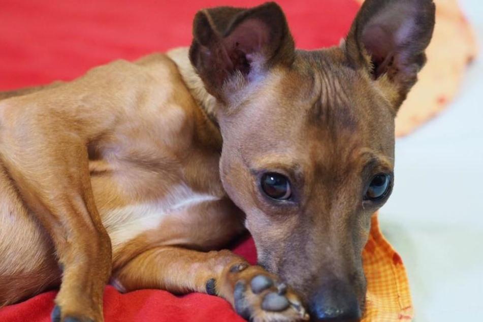 Schlimme Krankheit: Dieser süße Hund kann nur im Kreis laufen