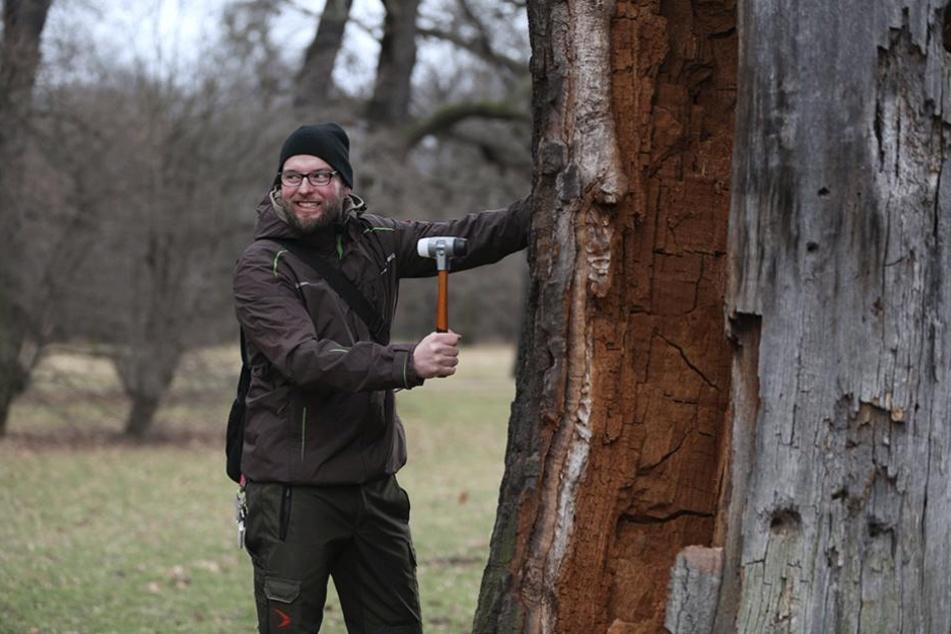 Zu Miedtanks Aufgaben gehört auch die Kontrolle der alten Bäume.