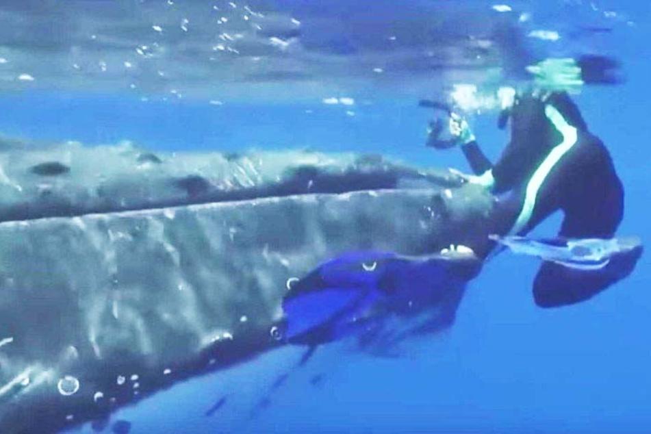 Ein Buckelwal soll die Taucherin zehn Minuten lang vor einem Tigerhai beschützt haben.