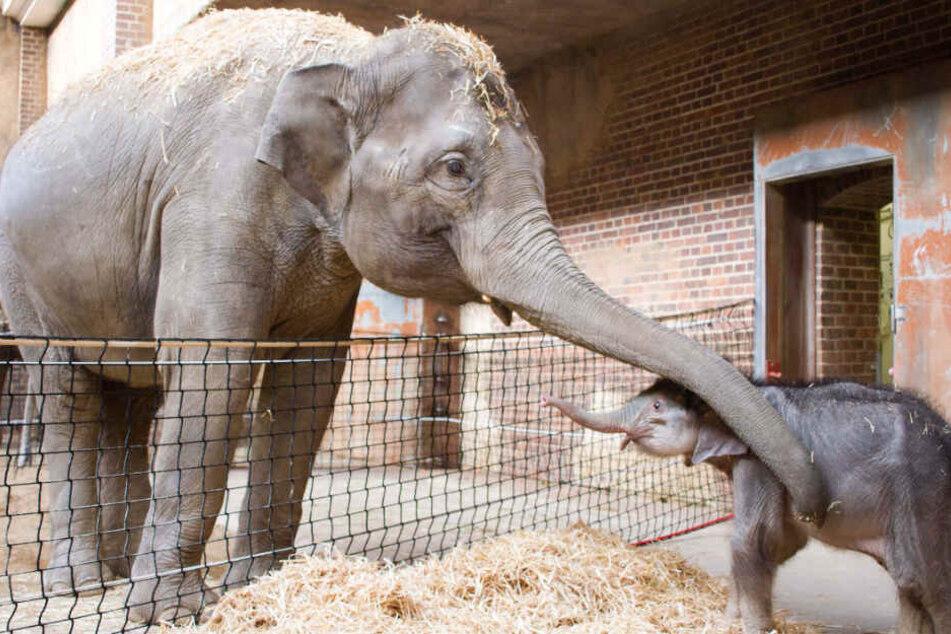 Kontaktaufnahme zwischen dem Elefantenkalb und Elefantenkuh Rani im Elefantenhaus des Leipziger Zoos.