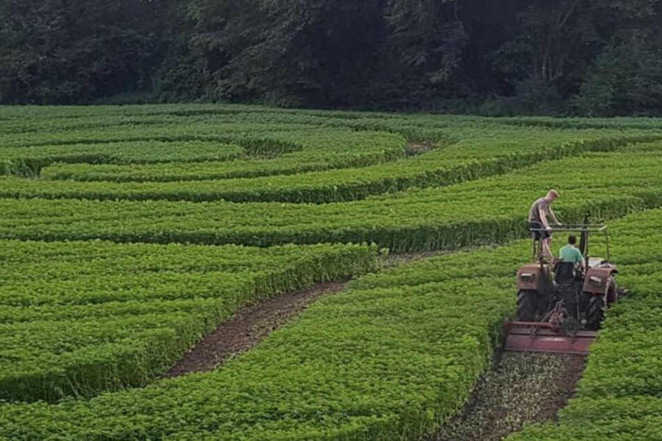 Mit einem Traktor wurden die Wege in den Hanf gepflügt.
