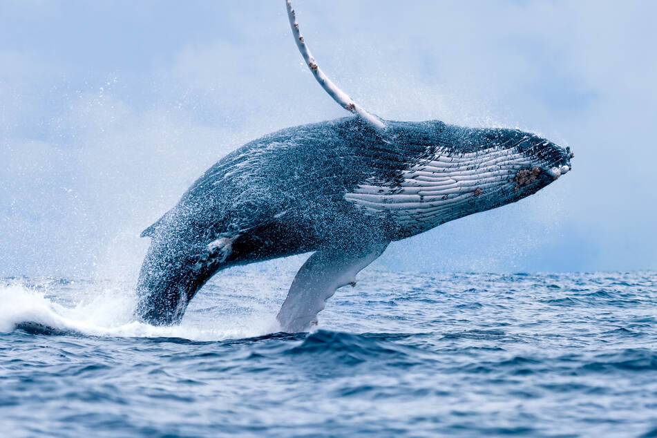 Humpback whales love to eat menhaden (stock image).
