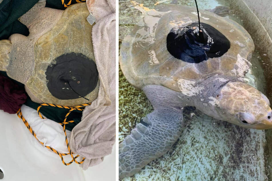 The amazing story of Lou, the turtle who overcame tragedy on his journey back to the ocean