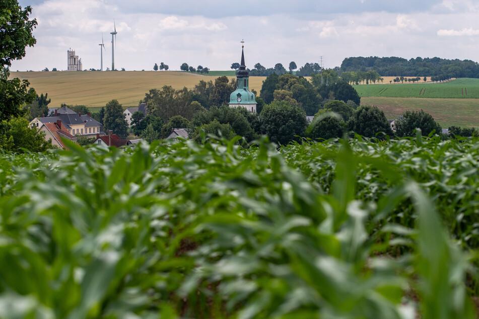 Vom Maisfeld aus krabbeln Tausende Käfer nach Wiederau.
