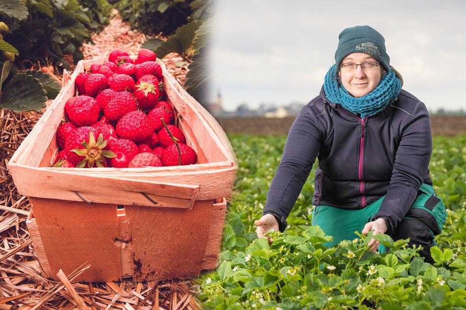 Susanne Kühn (35) vom Obstland Dürrweitzschen in einem Erdbeerfeld. Sie weiß: Normalerweise sind die Früchte um diese Jahreszeit viel weiter.