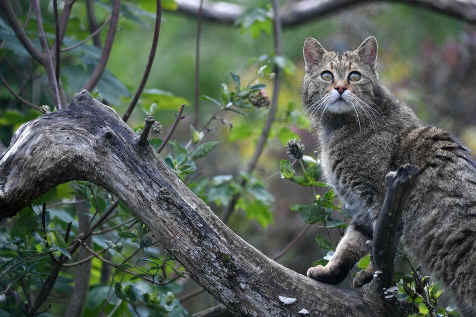 Die beiden ausgesetzten Katzen waren Fundtiere, die Mitarbeiter des Opel-Zoos in Kronberg im Taunus rund ein Jahr lang aufgezogen hatten. (Archivbild)