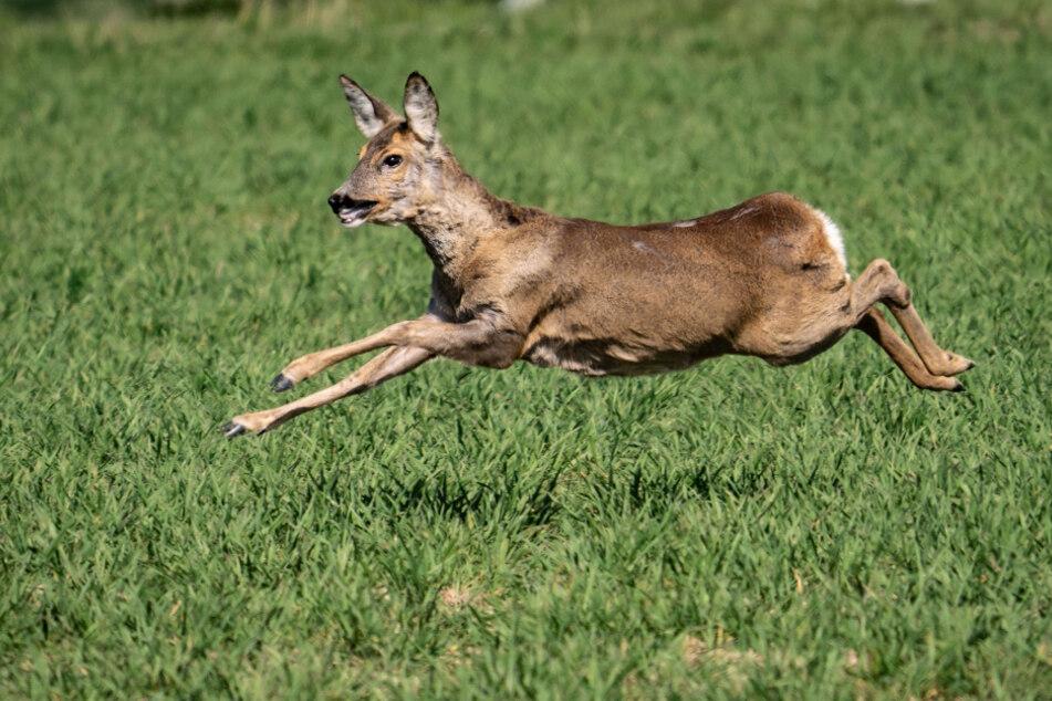 Das verletzte Tier rannte aus dem Wald. (Symbolbild)