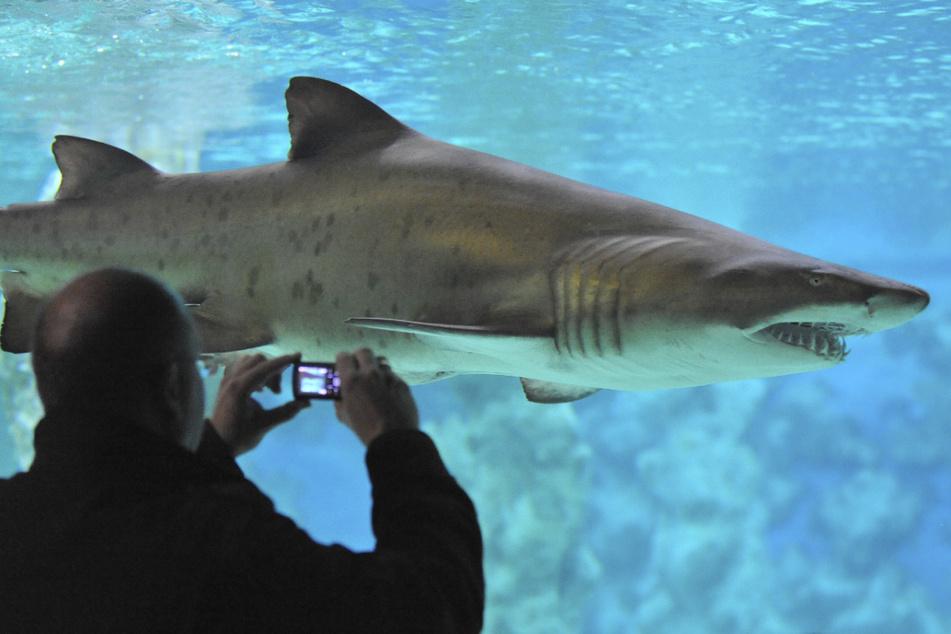 Ein Tigerhai riss Mike Coots (42) das Bein ab. (Symbolbild)