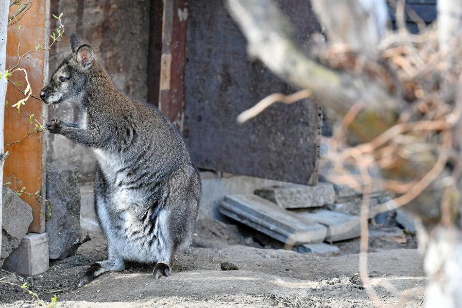 Das Mini-Känguru fühlt sich in seiner neuen Umgebung wohl.