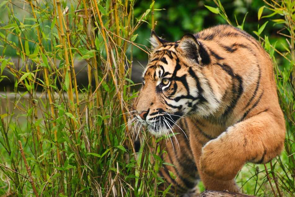 Rare Sumatran tiger released into the wild by helicopter