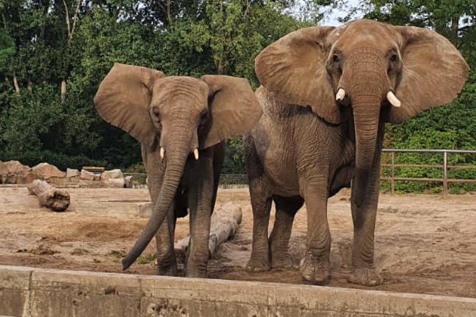 Elefantenkuh Kariba und ihre Ziehmutter Lilak sind im Opel-Zoo eingezogen