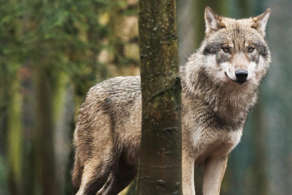 Zwei Wölfe in Hessen ansässig: Werden sie abgeschossen?