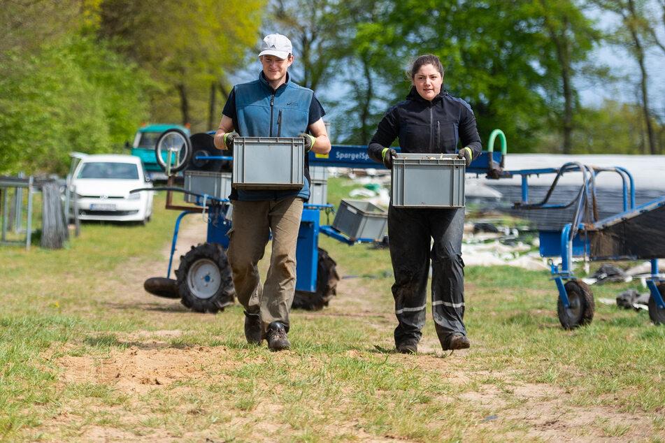 Die beiden Tiermedizinstudenten Jonas Gehrke (l) und Lena Lemmermann tragen Kisten mit Spargel zu einem Sammelplatz.