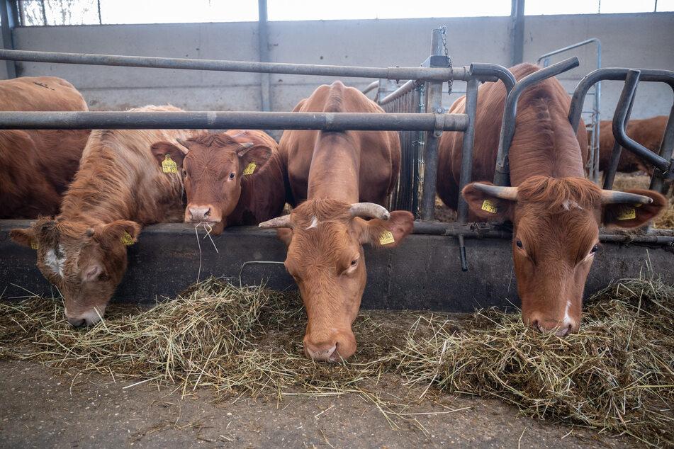 Viele der rund 50 Rinder in dem Stall haben einen Namen, abzulesen auf einem kleinen gelben Band.