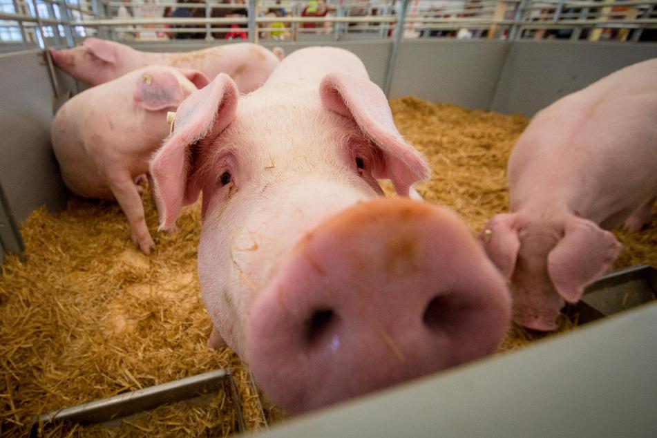 Die hofnahe Schlachtung von Schweinen und Rindern wird gefördert. (Symbolbild)