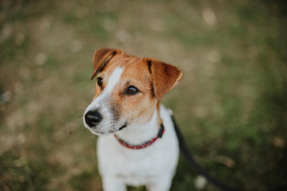 Zwillinge können sich zusammen mit Jack Russell Terrier auf die Suche nach Abenteuern begeben.
