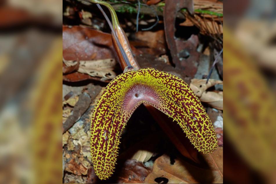 """Die """"Aristolochia wankeana"""" besitzt eine für Pfeifenwinden charakteristische außergewöhnliche Blütenform und nun auch den Namen des Sachsen."""