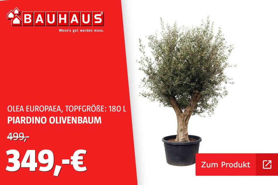 Olivenbaum für 180 L für 349 statt 499 Euro